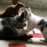 Ardilla roba cacahuetes a un gato