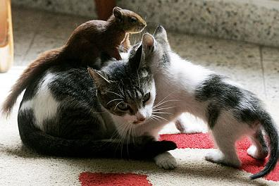 gatos ardilla