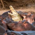 Infierno en la charca de hipopótamos
