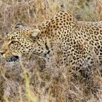 Leopardo cazando una gacela en el Serengueti