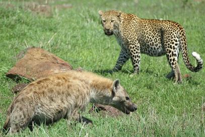 Hienas le roban comida a un leopardo
