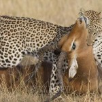 Leopardo e impala peleando