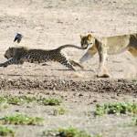 Leopardo despierta de la siesta a tres leonas
