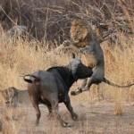 Bufalo persiguiendo a leona (y viceversa)