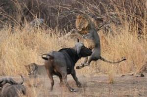 bufalo ataca leon