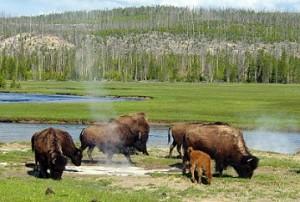 documentales animales bisonte negro