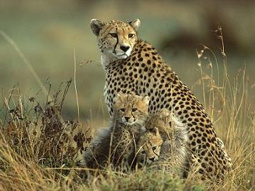 Guepardo defiende a sus crías de las hienas