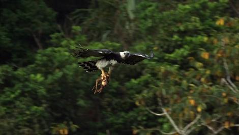 Aguila cazando un perezoso