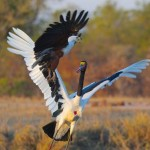 Aguila roba comida a un jaribu