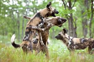 documental animales perros salvajes cazadores africanos