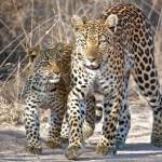 Leopardo de Shaba