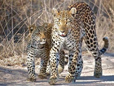 leopardo shaba