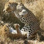 Tres leopardos peleando en el Kruger