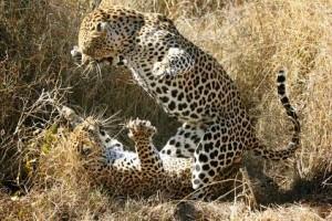 leopardos peleando