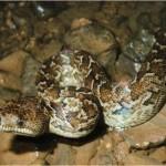 La mayor serpiente de Cuba
