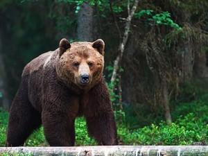 oso bosque
