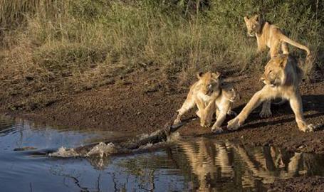 Epica pelea entre tres leonas y un cocodrilo