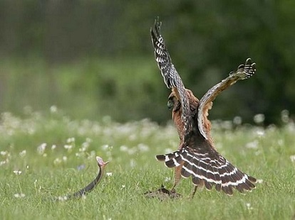Aguila atacando serpiente