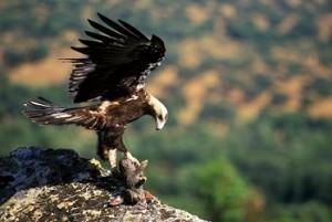 Aguila Imperial cazando un conejo