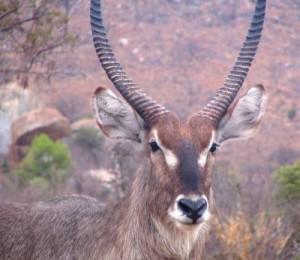antilope acuatico