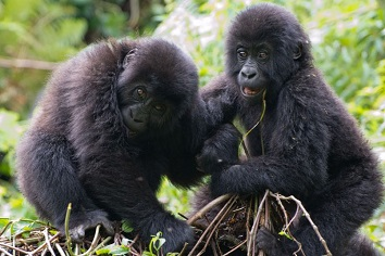 Bebes gorila jugando en Ruanda