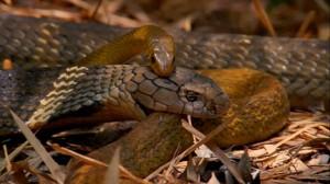cobra real culebra