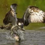 Grandes documentales – Historia de aves cazadoras