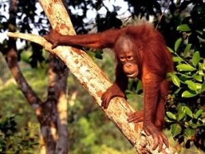 documental orangutan borneo