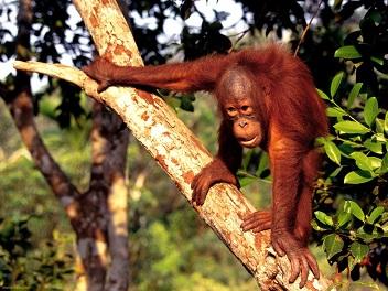 Documental – El Orangutan, Sobreviviendo en la naturaleza