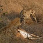 Impala se hace el muerto para burlar a una hiena