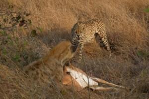 hiena guepardo impala