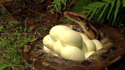 huevos piton
