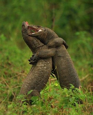 Dos lagartos peleando en el Kruger