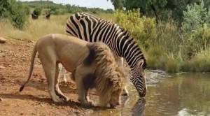 leon cebra