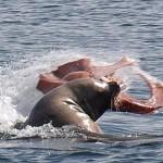 Leon marino cazando un pulpo
