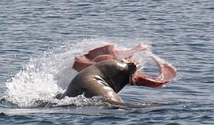 leon marin cazando pulpo