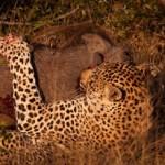 Leopardo cazando un jabalí en su  madriguera