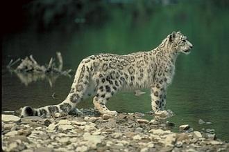 El leopardo de las nieves (BBC Earth)