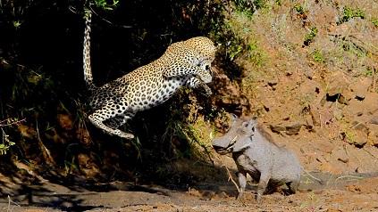 Jabali asusta a un leopardo