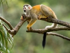 mono araña colombia
