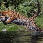 Impresionante: tigre cazando un ciervo en el agua