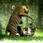 Dos tigres peleando (Sudafrica)