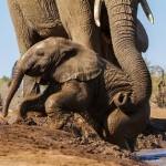 Hora del baño para el bebe elefante