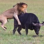 Bufalo explota un neumatico para alejar a leon