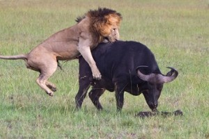bufalo leon