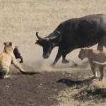 Bufalo salva a su cría de unos leones