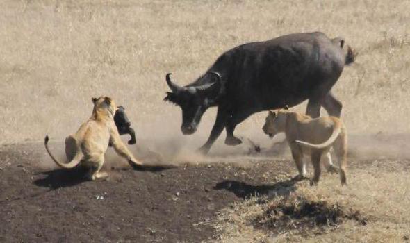 bufalo leones
