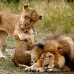 Cachorros de leon en Massai Mara