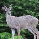 Genial: Hombre disfrazado confunde a un ciervo