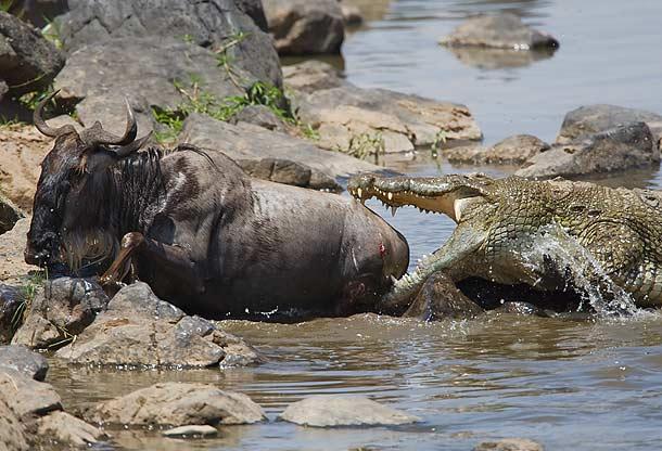 Hipopotamo escolta a un ñu ante cocodrilos
